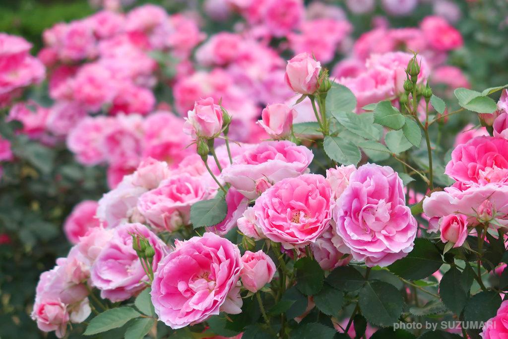 代々木公園の薔薇