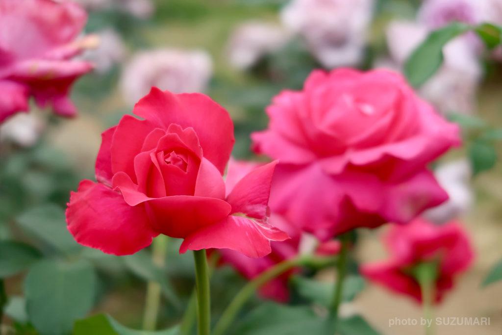 PowerShot G7 X Mark IIで撮った赤い薔薇