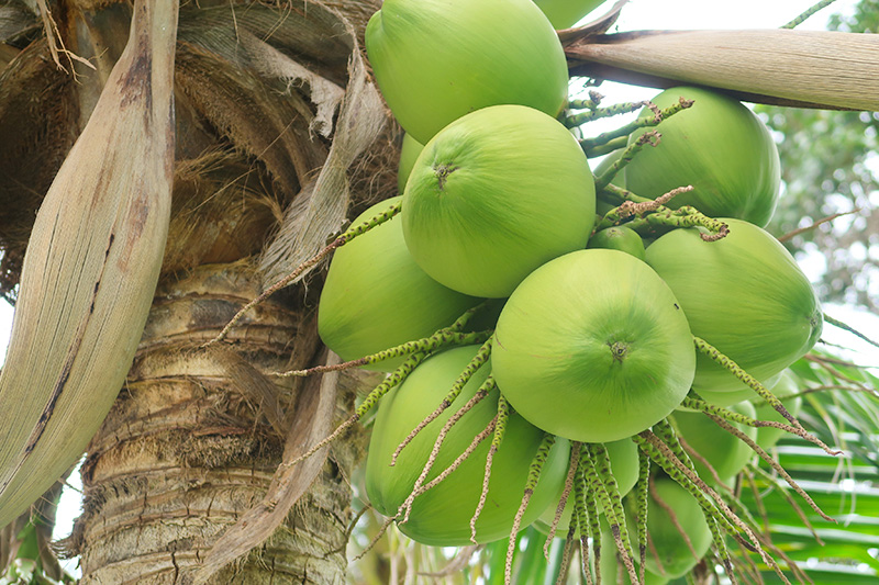 ホテルの敷地にたわわになっているココナッツ