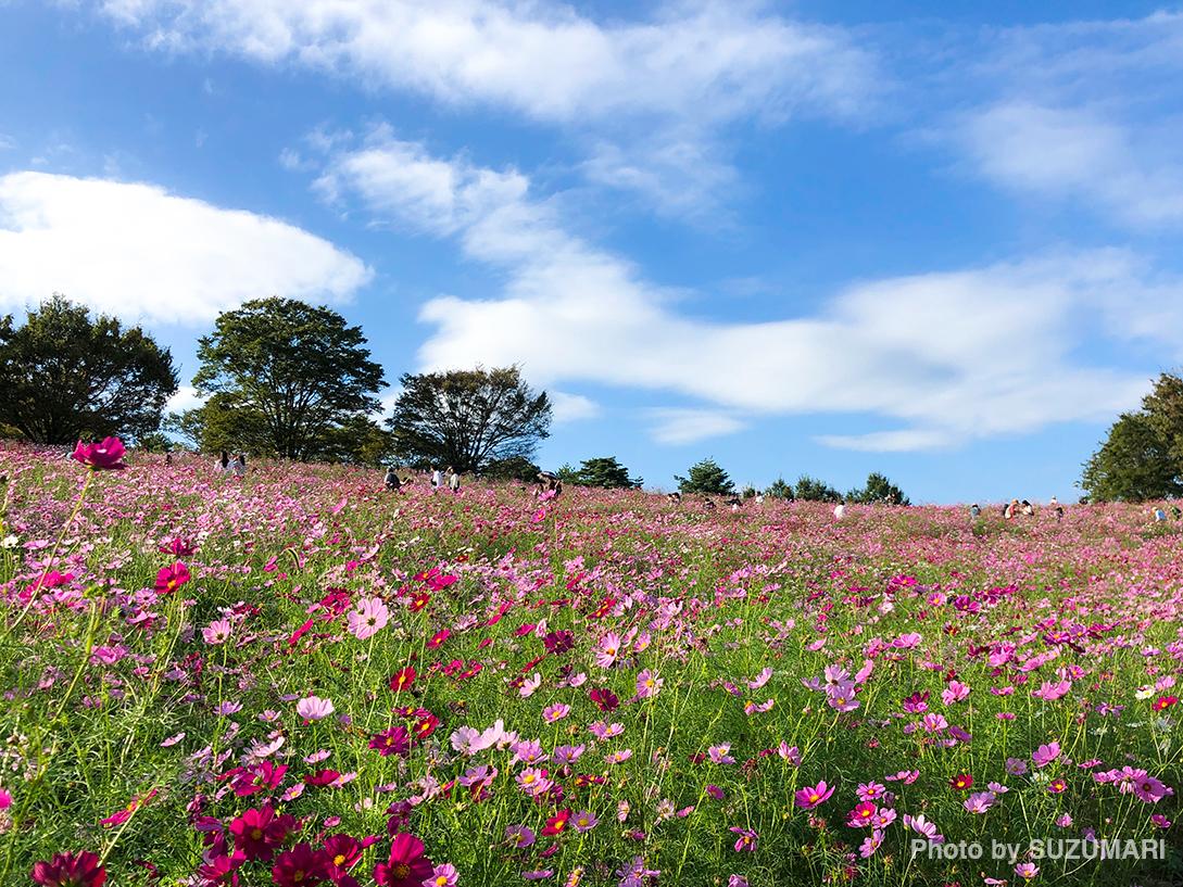 国営昭和記念公園「コスモス祭り」